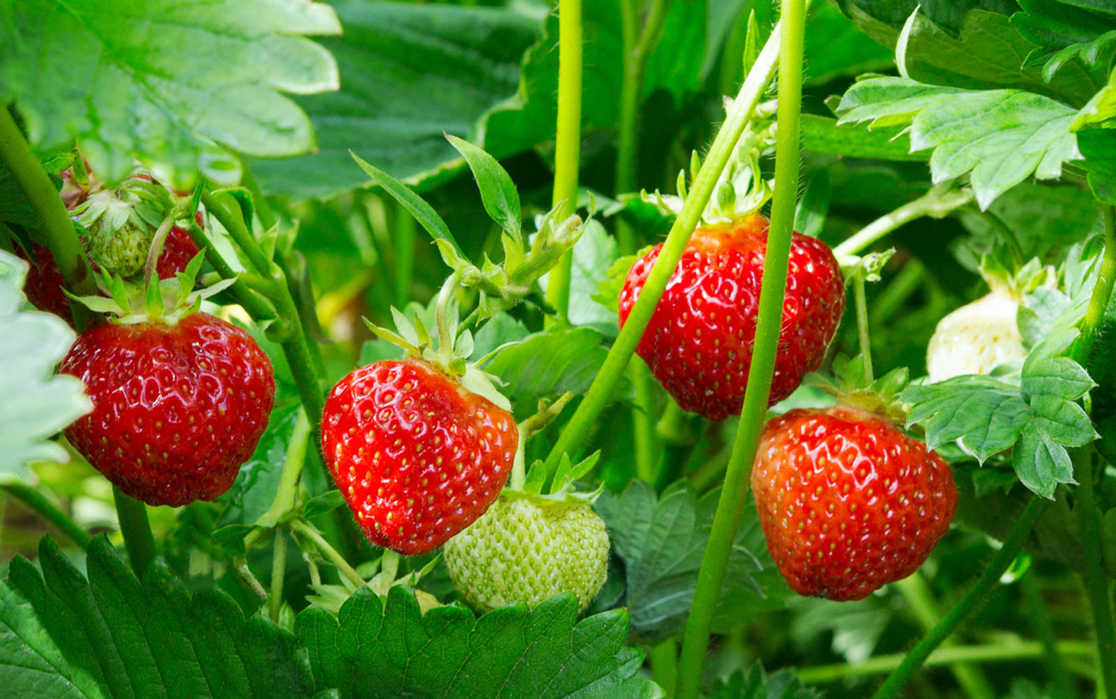 Grow your own strawberries…indoors!
